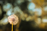 Dandelion with out of focus bokeh background