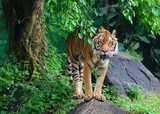 The tiger (Panthera tigris) is the largest cat species, most recognizable for its pattern of dark vertical stripes on reddish-orange fur with a lighter underside.