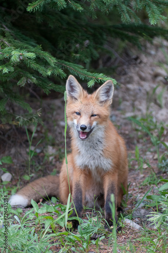 Red fox - 226435534