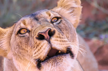 Kalahari lioness threatens photographer that it is time to leave