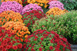colorful chrysanthemum flowers outdoor in autumn season