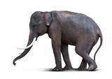 Asian elephant isolated