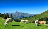 Cows grazing in pastures of the Pyrenees, Pic du Midi on background