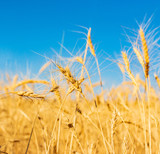 field with wheat against the sky