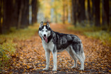 Black and white Siberian Husky with blue eyes. Dog outdoors in autumn park