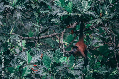 Foto Murales Spider Monkey hanging in the tree