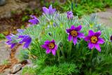 pasqueflower as very nice spring flower
