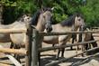 Konik polski (Equus ferus caballus), a Polish primitive semi-feral horse, in Roztocze national park, Poland