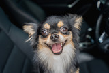 portrait of a chihuahua dog on the seat