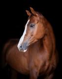 chestnut horse portrait on black background - 226508599