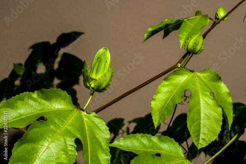 branch of pasyflor vines with leaves and buds passion fruit buy