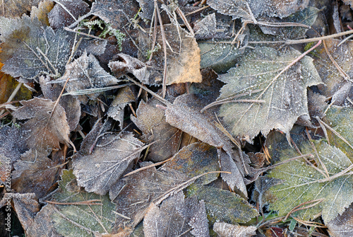 Frosted leaves in the ground.  © ekim