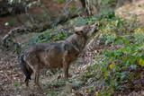 Wolf in Bayerischer Wald National Park, Germany