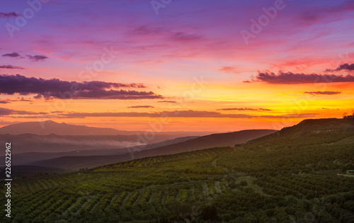 Foto Murales Olive fields at sunrise