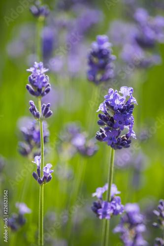 Lavendel und Schmetterling