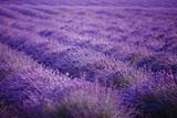 Lavender field flower purple summer sunset landscape. Provence, France