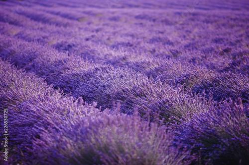 Lavender field flower purple summer sunset landscape. Provence, France - 226530725