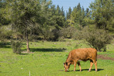 Brown cow on grass background.
