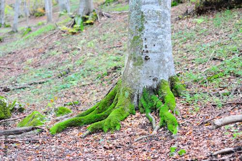Foto Murales tree full of moss