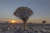 Quiver tree at sunrise - 226557318