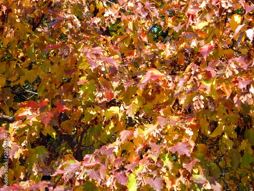 birch leafs at autumn - 226563547