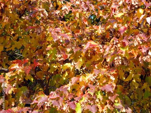 birch leafs at autumn - 226563547