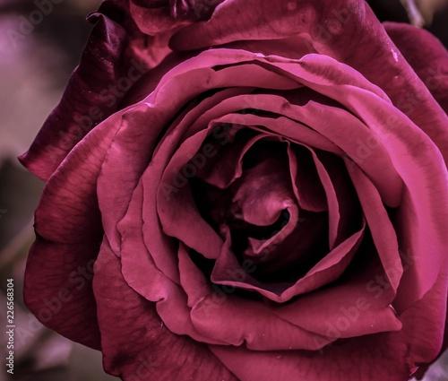 Rose - 226568304