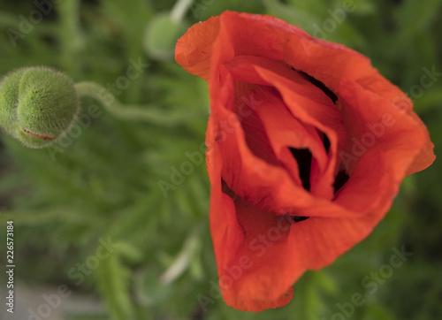 Poppy - 226573184