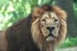 portrait of a large beautiful lion