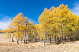 A grove of aspen trees in fall colors along the edge of a grassy meadow under a brilliant blue sky - 226591530