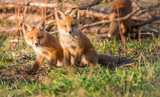 Red fox kits - 226607781