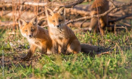Red fox kits - 226607781