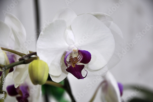 KUALA LUMPUR, MALAYSIA -AUGUST 25, 2018: Colorful tropical & exotic orchids flower in plants nursery.  - 226609701