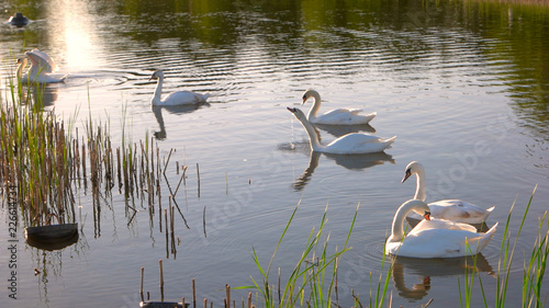 White swans swimming on pond. Group of swans are floating on water at summer park. Beautiful rural nature.
