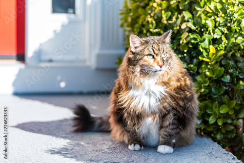One scared, calico maine coon cat sitting outside, outdoors by red door hiding behind green bushes in shade by house, home entrance - 226623333