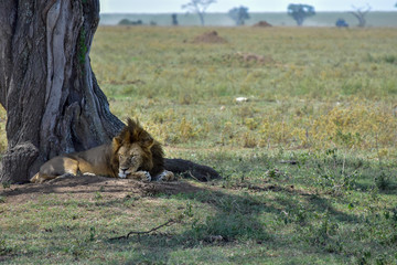 Male lion sleeping in the Serengeti National Park, Tanzania.