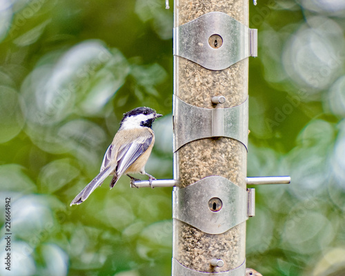 Foto Murales Chickadee at the bird feeder