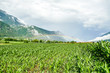 green rice field of wheat, in Norway Scandinavia North Europe