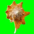 Leinwandbild Motiv Conch Shell on Chroma Key Green Background