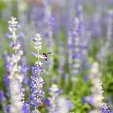 Closeup purple flowers (salvia officinalis) - 226677580