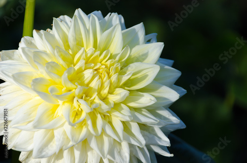 An isolated dahlia in a garden. Yellow dahlia.