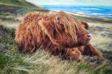 Scottish hairy coos