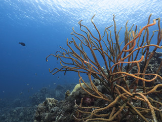 Seascape of coral reef / Caribbean Sea / Curacao with various hard and soft corals, sponges © naturepics