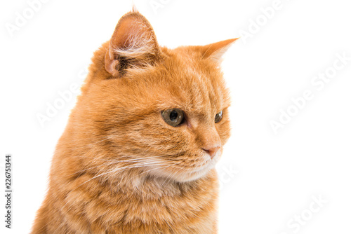ginger cat isolated - 226751344