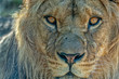 male lion eyes close up