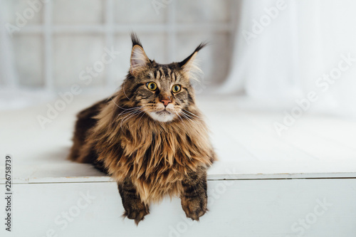 Maine Coon cat on white background - 226758739