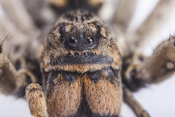 Brazilian Wandering Spider © BillionPhotos.com