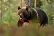Brown bear walking in forest scenery