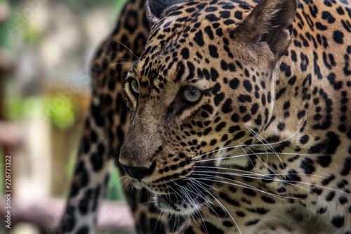 Fototapeta Wild Cat