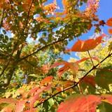 Érable du Canada, automne - 226775756